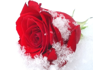 snow-rose-ice-winter