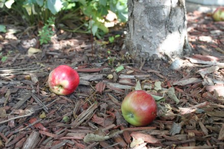 apple from tree